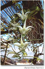03- Aeranthes henricii